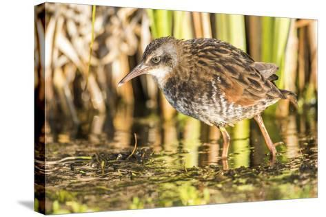 Wyoming, Sublette County, a Young Virginia Rail Forages in a Cattail Marsh-Elizabeth Boehm-Stretched Canvas Print