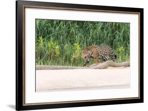 Brazil, Mato Grosso, the Pantanal, Rio Cuiaba, Jaguar-Ellen Goff-Framed Art Print