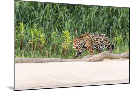 Brazil, Mato Grosso, the Pantanal, Rio Cuiaba, Jaguar-Ellen Goff-Mounted Photographic Print