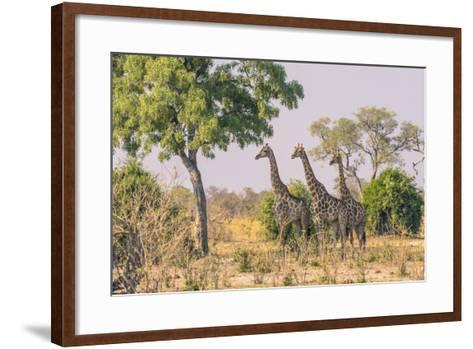 Botswana. Chobe National Park. Savuti. Giraffes Intently Watching a Hidden Lion in the Bush-Inger Hogstrom-Framed Art Print