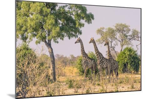 Botswana. Chobe National Park. Savuti. Giraffes Intently Watching a Hidden Lion in the Bush-Inger Hogstrom-Mounted Photographic Print