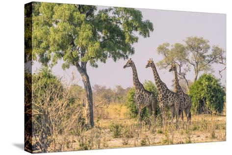 Botswana. Chobe National Park. Savuti. Giraffes Intently Watching a Hidden Lion in the Bush-Inger Hogstrom-Stretched Canvas Print