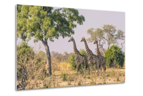 Botswana. Chobe National Park. Savuti. Giraffes Intently Watching a Hidden Lion in the Bush-Inger Hogstrom-Metal Print