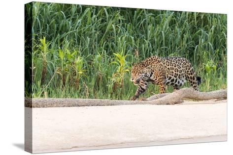 Brazil, Mato Grosso, the Pantanal, Rio Cuiaba, Jaguar-Ellen Goff-Stretched Canvas Print