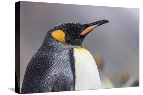South Georgia Island, Salisbury Plains. Close-Up of King Penguin in Rain Storm-Jaynes Gallery-Stretched Canvas Print