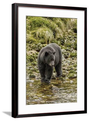 Canada, British Columbia, Inside Passage. Black Bear Fishing on Qua Creek-Jaynes Gallery-Framed Art Print