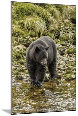 Canada, British Columbia, Inside Passage. Black Bear Fishing on Qua Creek-Jaynes Gallery-Mounted Photographic Print