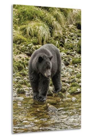 Canada, British Columbia, Inside Passage. Black Bear Fishing on Qua Creek-Jaynes Gallery-Metal Print