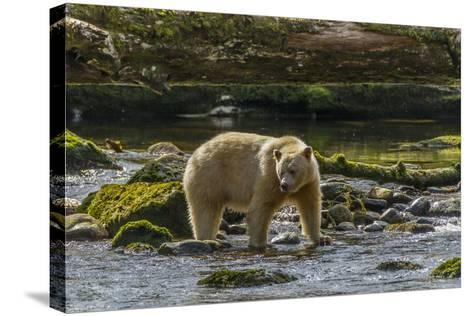 Canada, British Columbia, Inside Passage. White Spirit Bear Hunts for Fish on Riordan Creek-Jaynes Gallery-Stretched Canvas Print