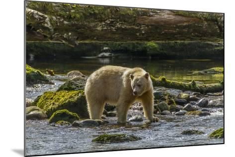 Canada, British Columbia, Inside Passage. White Spirit Bear Hunts for Fish on Riordan Creek-Jaynes Gallery-Mounted Photographic Print
