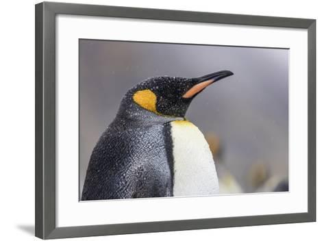 South Georgia Island, Salisbury Plains. Close-Up of King Penguin in Rain Storm-Jaynes Gallery-Framed Art Print
