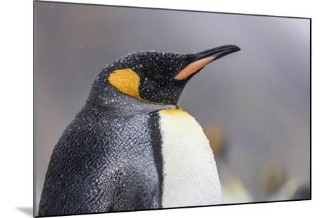 South Georgia Island, Salisbury Plains. Close-Up of King Penguin in Rain Storm-Jaynes Gallery-Mounted Photographic Print
