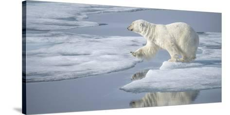 Arctic Ocean, Norway, Svalbard. Polar Bear Jumping-Jaynes Gallery-Stretched Canvas Print