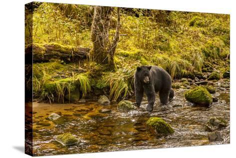 Canada, British Columbia, Inside Passage. Black Bear Fishing on Riordan Creek-Jaynes Gallery-Stretched Canvas Print
