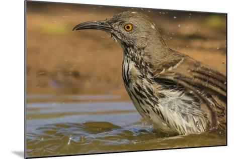 Texas, Hidalgo County. Curve-Billed Thrasher Bathing-Jaynes Gallery-Mounted Photographic Print