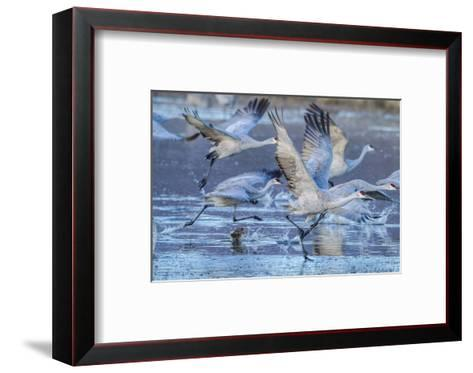 New Mexico, Bosque Del Apache National Wildlife Refuge. Sandhill Cranes Flying-Jaynes Gallery-Framed Art Print