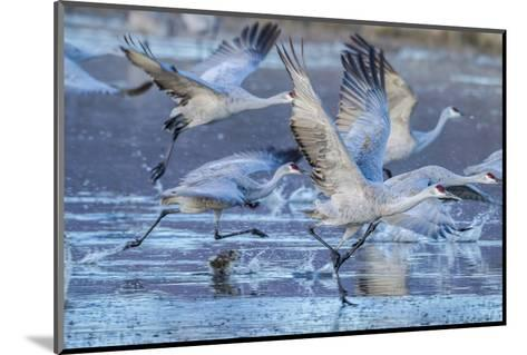 New Mexico, Bosque Del Apache National Wildlife Refuge. Sandhill Cranes Flying-Jaynes Gallery-Mounted Photographic Print