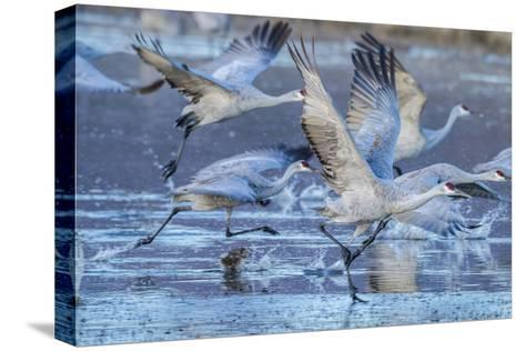 New Mexico, Bosque Del Apache National Wildlife Refuge. Sandhill Cranes Flying-Jaynes Gallery-Stretched Canvas Print