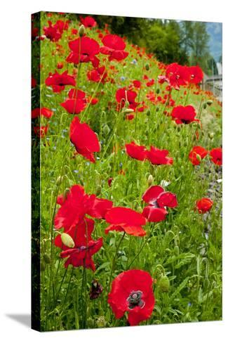 Red Poppies Flowers in Field Snoqualmie, Washington State Papaver Rhoeas Common Poppy Flower-William Perry-Stretched Canvas Print
