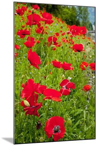 Red Poppies Flowers in Field Snoqualmie, Washington State Papaver Rhoeas Common Poppy Flower-William Perry-Mounted Photographic Print