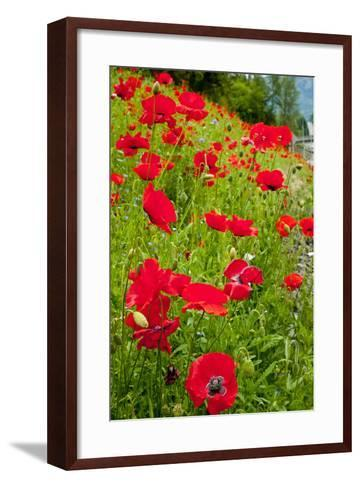 Red Poppies Flowers in Field Snoqualmie, Washington State Papaver Rhoeas Common Poppy Flower-William Perry-Framed Art Print