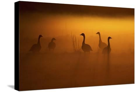 Canada Geese, Misty Dawn-Ken Archer-Stretched Canvas Print