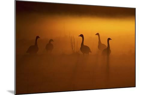 Canada Geese, Misty Dawn-Ken Archer-Mounted Photographic Print