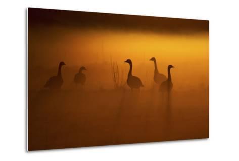 Canada Geese, Misty Dawn-Ken Archer-Metal Print