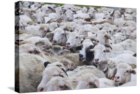 Sheep Herd in Kakheti, Georgia, Caucasus-Michael Runkel-Stretched Canvas Print