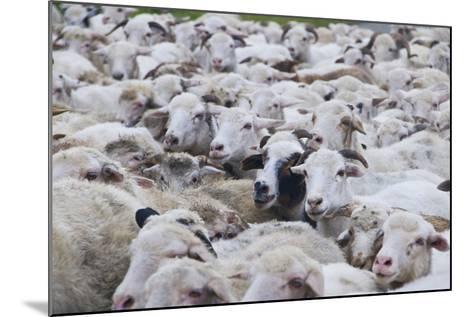 Sheep Herd in Kakheti, Georgia, Caucasus-Michael Runkel-Mounted Photographic Print