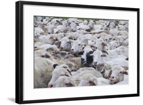 Sheep Herd in Kakheti, Georgia, Caucasus-Michael Runkel-Framed Art Print