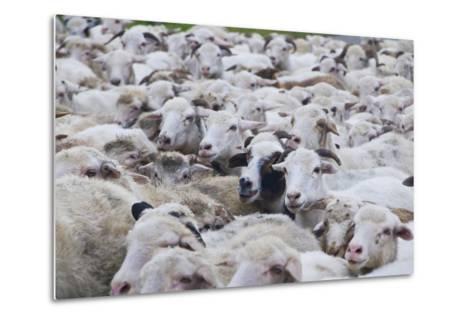 Sheep Herd in Kakheti, Georgia, Caucasus-Michael Runkel-Metal Print
