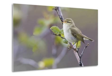 Arctic Warbler Singing-Ken Archer-Metal Print