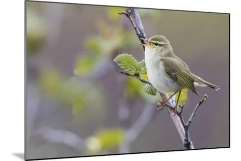 Arctic Warbler Singing-Ken Archer-Mounted Photographic Print