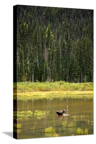 Cow Moose Feeding on Aquatic Plants in a Mountain Marsh-Richard Wright-Stretched Canvas Print