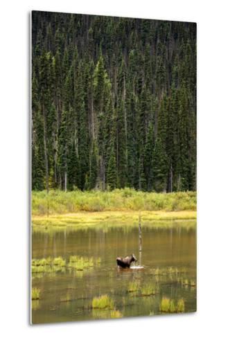Cow Moose Feeding on Aquatic Plants in a Mountain Marsh-Richard Wright-Metal Print