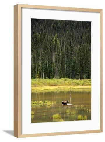 Cow Moose Feeding on Aquatic Plants in a Mountain Marsh-Richard Wright-Framed Art Print
