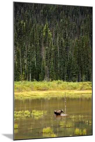 Cow Moose Feeding on Aquatic Plants in a Mountain Marsh-Richard Wright-Mounted Photographic Print