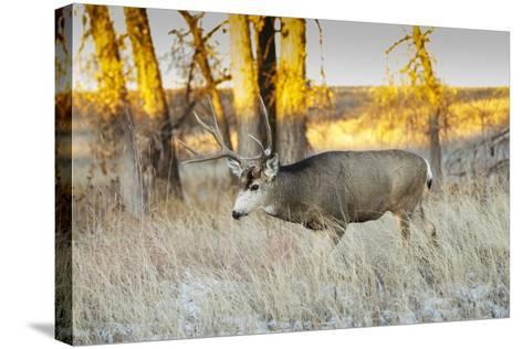 Mule Deer Buck in Winter Grassland Cover-Larry Ditto-Stretched Canvas Print