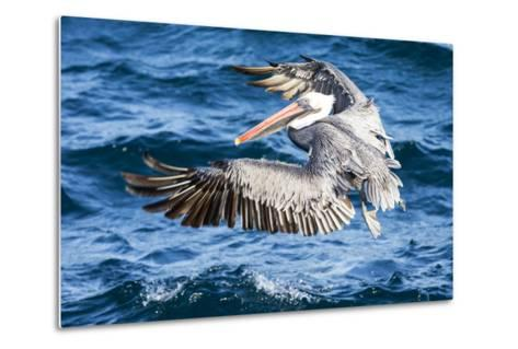 Ecuador, Galapagos Islands, North Seymour Island, Brown Pelican Flying-Ellen Goff-Metal Print