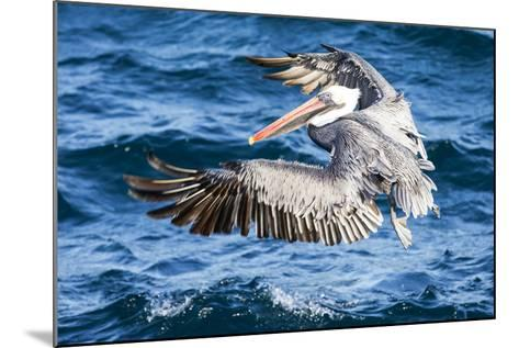 Ecuador, Galapagos Islands, North Seymour Island, Brown Pelican Flying-Ellen Goff-Mounted Photographic Print