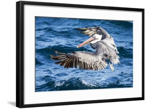Ecuador, Galapagos Islands, North Seymour Island, Brown Pelican Flying-Ellen Goff-Framed Art Print