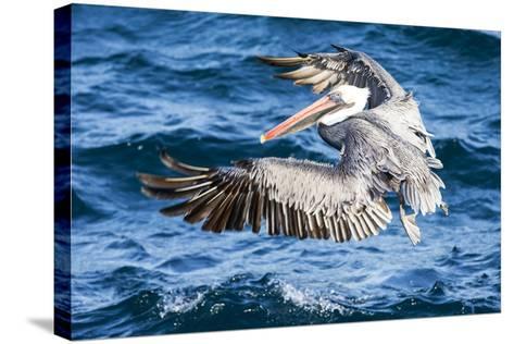 Ecuador, Galapagos Islands, North Seymour Island, Brown Pelican Flying-Ellen Goff-Stretched Canvas Print