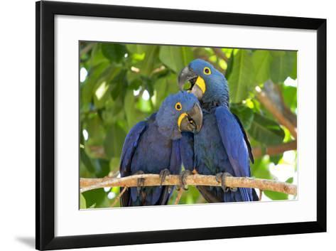 Brazil, Mato Grosso, the Pantanal. Pair of Hyacinth Macaws Cuddling-Ellen Goff-Framed Art Print