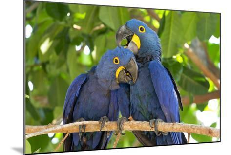 Brazil, Mato Grosso, the Pantanal. Pair of Hyacinth Macaws Cuddling-Ellen Goff-Mounted Photographic Print