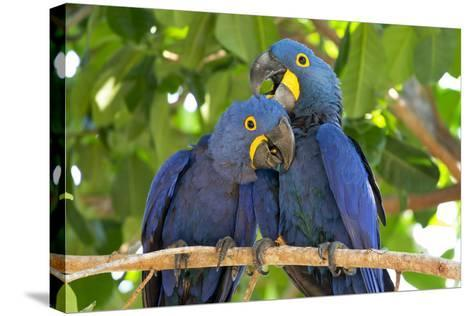 Brazil, Mato Grosso, the Pantanal. Pair of Hyacinth Macaws Cuddling-Ellen Goff-Stretched Canvas Print