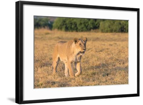 Botswana. Chobe National Park. Savuti. Female Lion on the Prowl-Inger Hogstrom-Framed Art Print