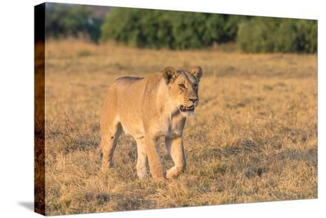 Botswana. Chobe National Park. Savuti. Female Lion on the Prowl-Inger Hogstrom-Stretched Canvas Print