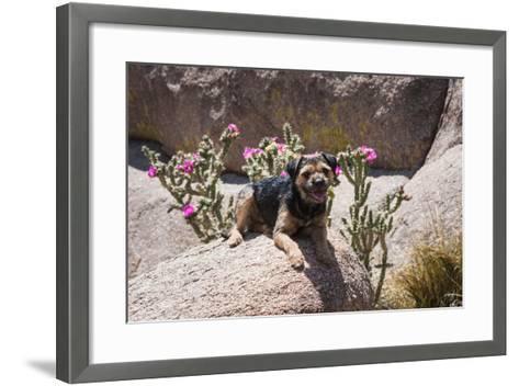 Border Terrier on Huge Boulders-Zandria Muench Beraldo-Framed Art Print