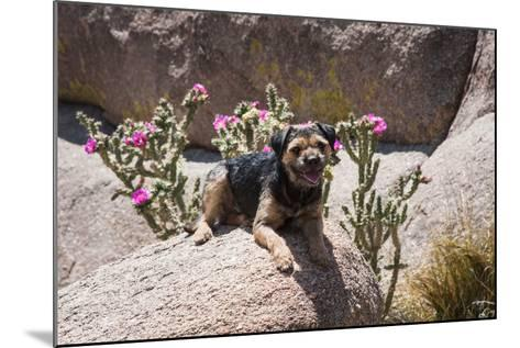 Border Terrier on Huge Boulders-Zandria Muench Beraldo-Mounted Photographic Print